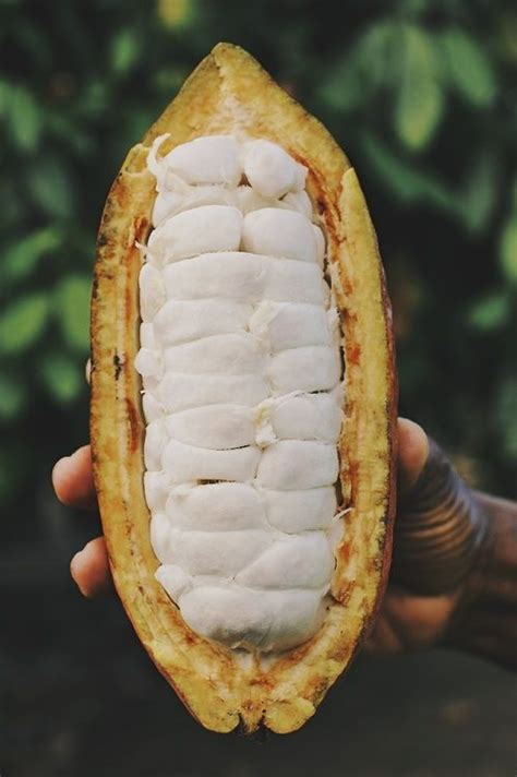 Pin on Cocoa Trees, Cocoa Pods and Cocoa Beans