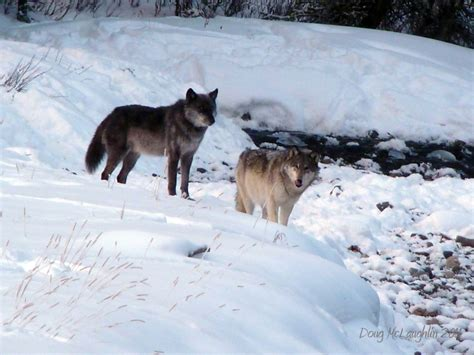 Wolves in Paradise? Yellowstone's Wolves in Transition