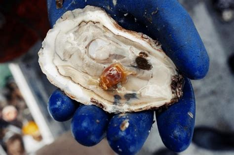 What are pea crabs and why are they in my oysters