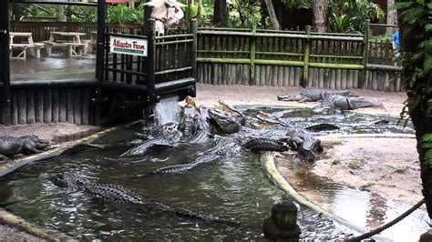 Alligator feeding time at the St