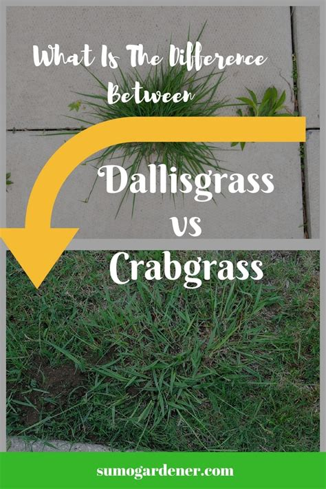 What Is The Different Between Dallisgrass vs Crabgrass