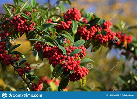 Branches Of Red Berries Of Cotoneaster Frigidus