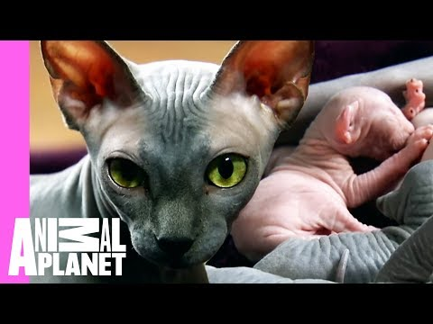 egyptian sphynx cat pictures - YouTube