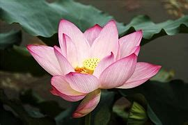Why do lotus flowers grow in mud? - Quora