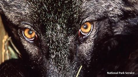 Nature up close: The best wolf ever - CBS News