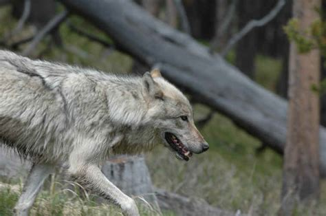 The Big Bad Wolf Makes Good: The Yellowstone Success Story