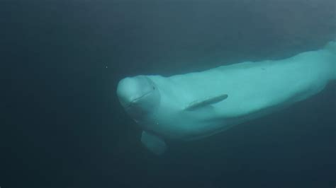 Runaway Beluga Whale May Face Deportation to Russia - The
