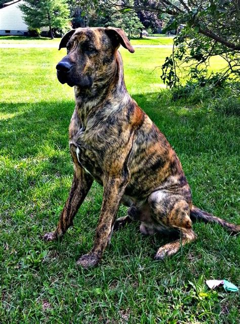 22 Mastiffs Mixed With Great Dane – Page 4 – The Paws