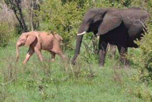 White elephant in Kruger - Africa Geographic