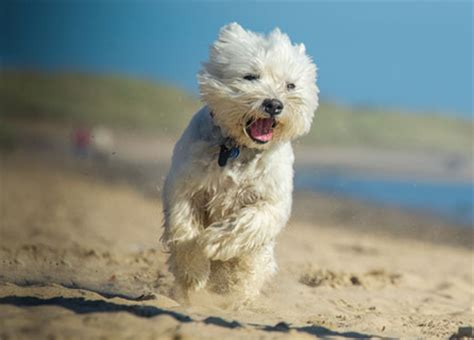 West Highland White Terrier Insurance, Facts, Health