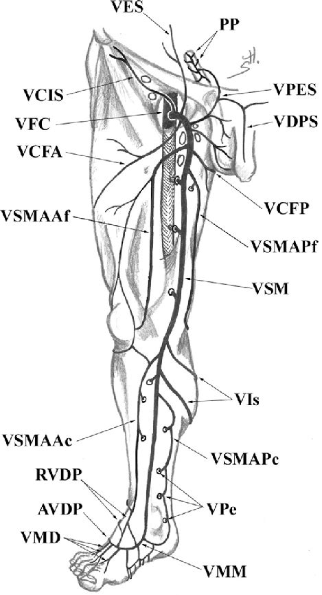 Superficial veins of the lower limb: ventral aspect