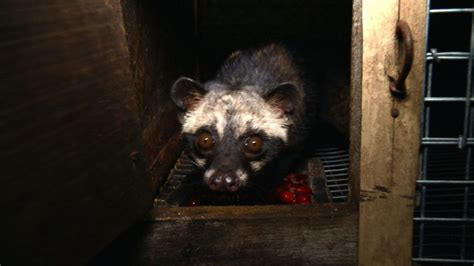 Civet Cat Poop Coffee, the World's Most Expensive, Brews