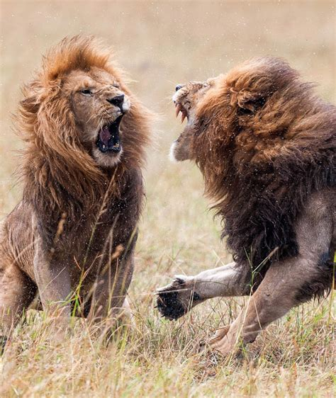 INCREDIBLE PICTURES: Vicious battle between two lions