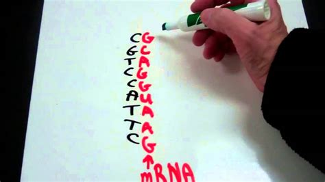 Decoding the Genetic Code from DNA to mRNA to tRNA to